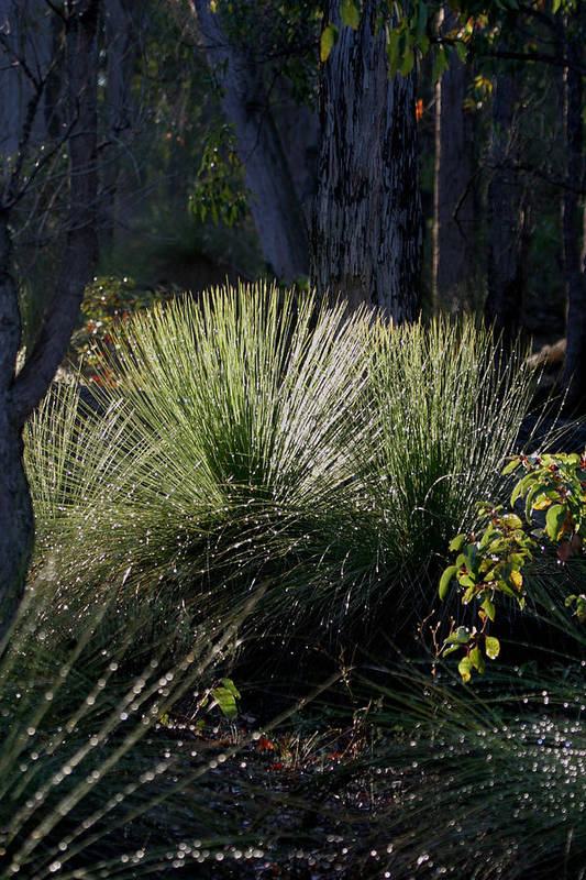 Plant Art Print featuring the photograph Dew On A Grass Tree by Tony Brown