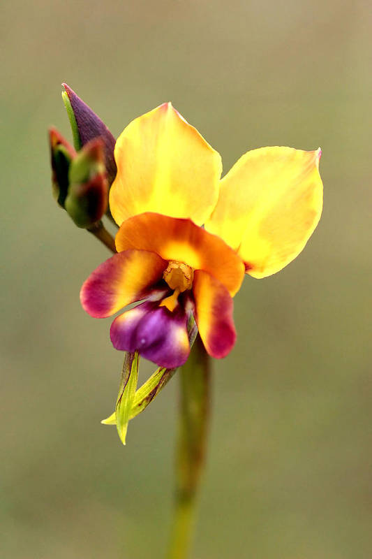 Flower Art Print featuring the photograph Donkey Orchid by Tony Brown