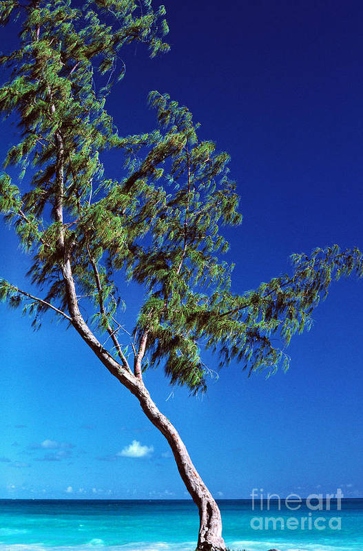 Lironwood Tree Art Print featuring the photograph Lone Tree Hawaii by Thomas R Fletcher