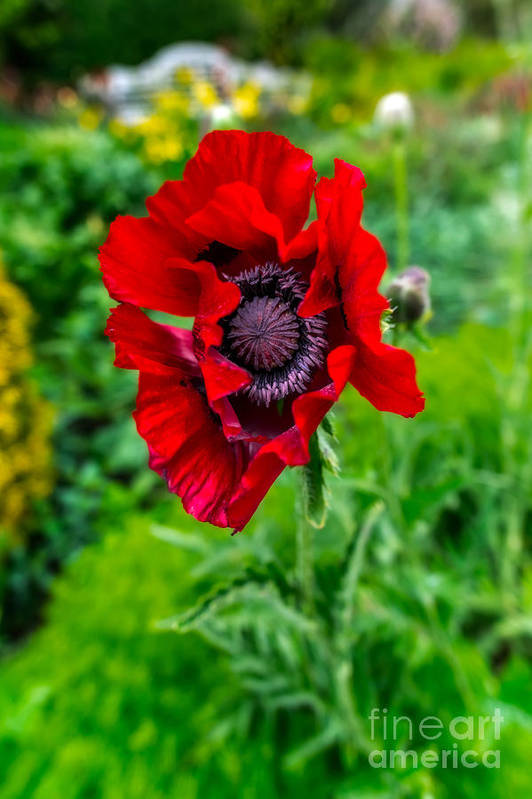 Poppy Art Print featuring the photograph Poppy by Adrian Evans