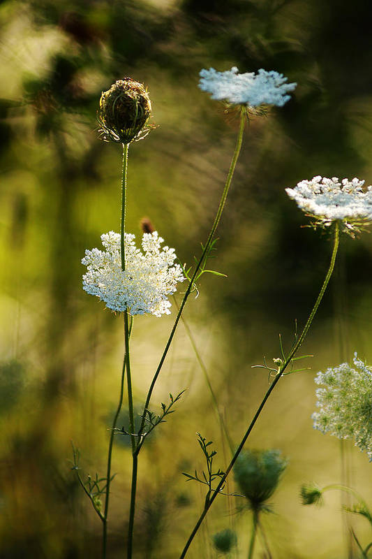 Wildflowers Art Print featuring the photograph Queen Annes Waving by Linda McRae
