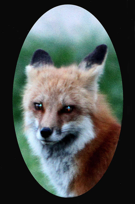 Fox Art Print featuring the photograph Red Fox by Dave Clark