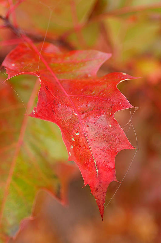Oak Leaves Art Print featuring the photograph Red Silk by Linda McRae