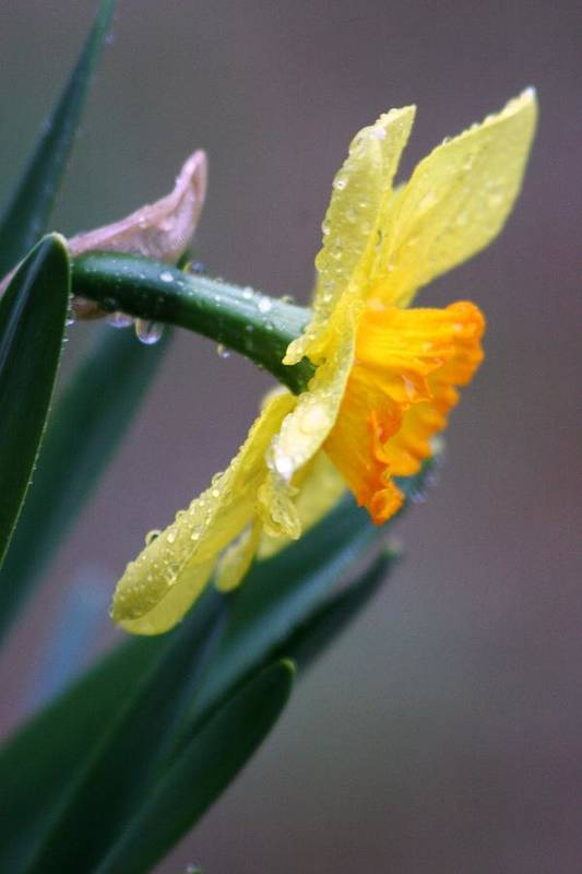 Daffodil Springtime Flower Rain Art Print featuring the photograph Spring Rain by Linda Russell