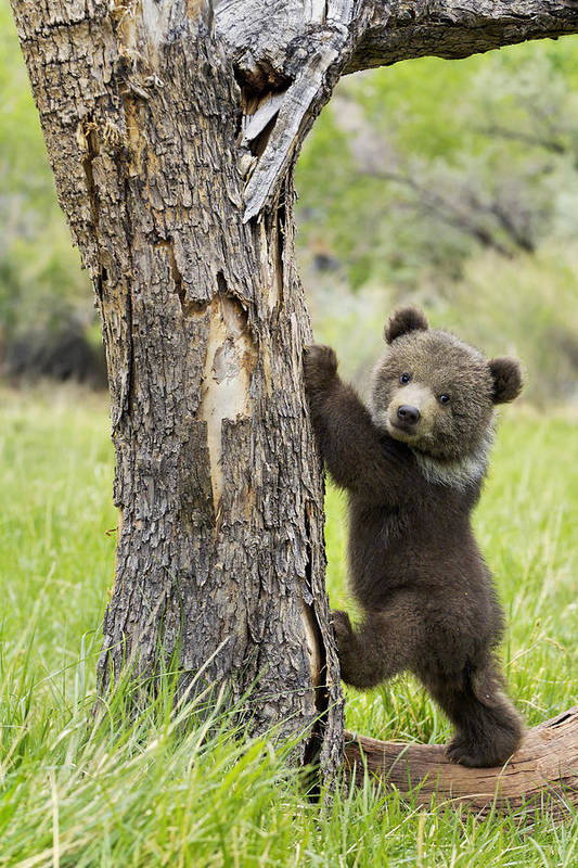 Grizzly Bear Print featuring the photograph Too Cute For Words by Melody Watson