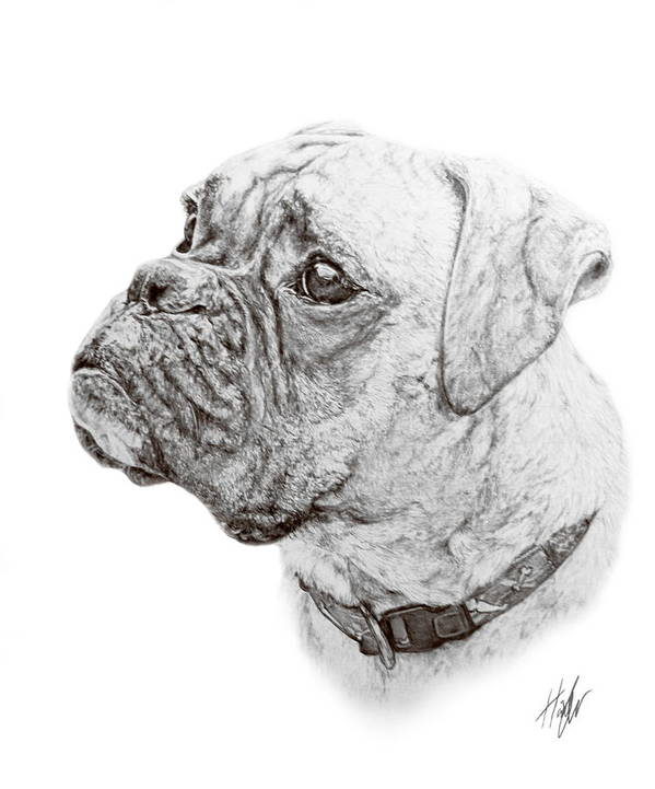 Boxer Print featuring the drawing Boxer by Hannah Taylor