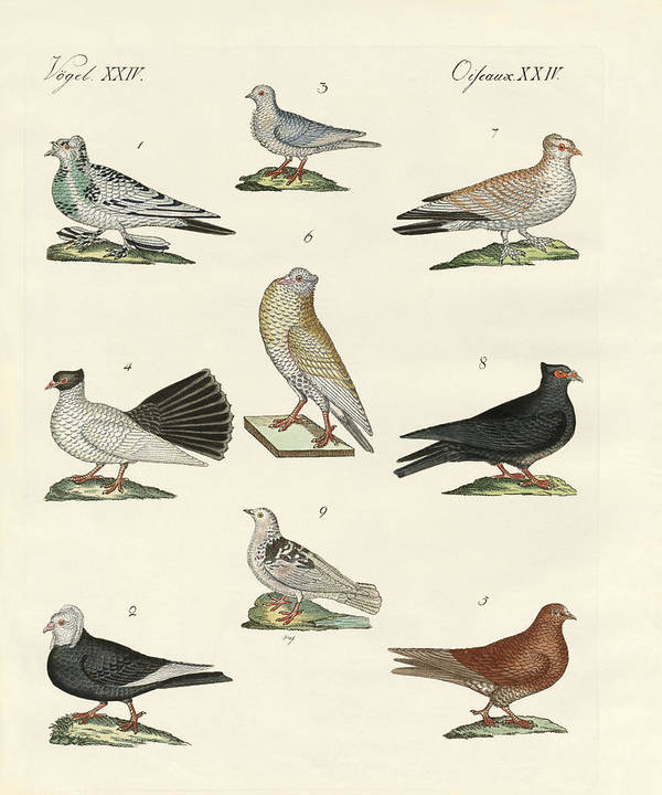 Trumpeter Pigeon Art Print featuring the drawing Different Kinds Of Pigeons by Splendid Art Prints