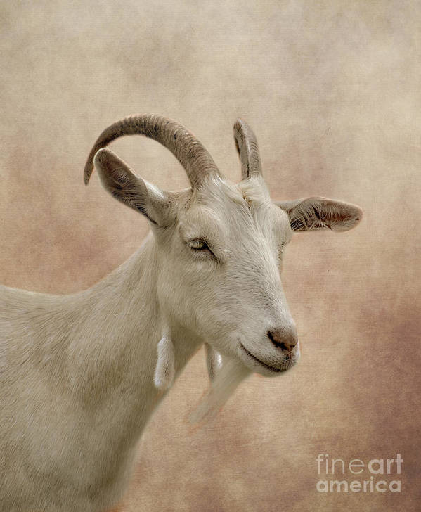 Goat Art Print featuring the photograph Goat by Linsey Williams