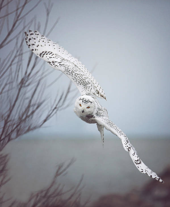 Wildlife Art Print featuring the photograph Snowy Owl In Flight by Carrie Ann Grippo-Pike