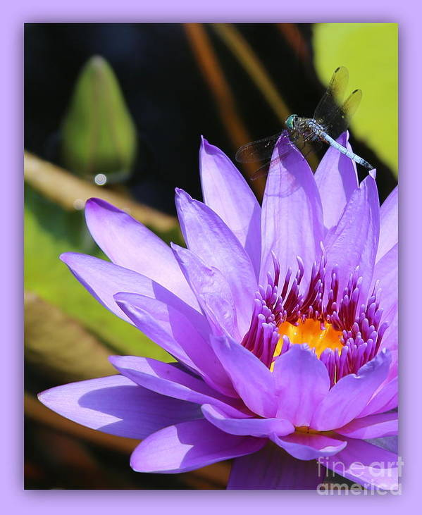 Dragonfly Art Print featuring the photograph Sweet Dragonfly On Purple Water Lily by Carol Groenen