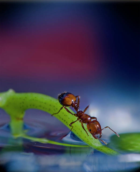 Ant Art Print featuring the photograph Ant In A Colorful World by Bob Rasulev