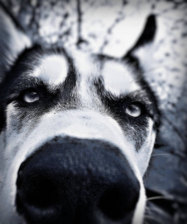 Siberian Husky Amazing Close Up Dog Dogs Nose Eyes Cool Beautiful Scary Wonderful Art Print featuring the photograph Diabolical Damien by Celestial Blue
