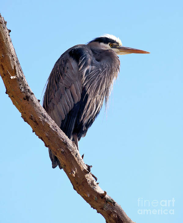 Terry Elniski Photography Art Print featuring the photograph Great Blue Heron Perched On Tree Branch by Terry Elniski