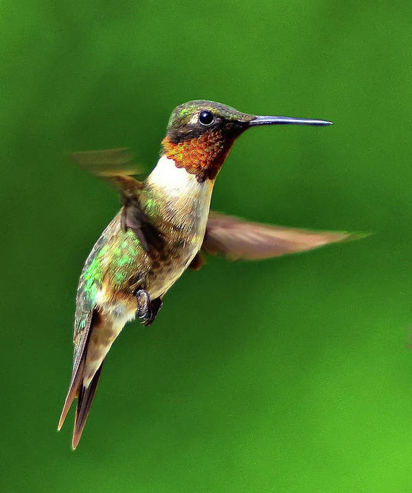 Vertical Art Print featuring the photograph Hummingbird In Mid-air by Jeff R Clow