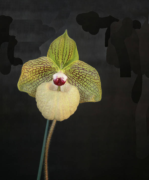 Orchid Art Print featuring the photograph Single Orchid by Liz Santie