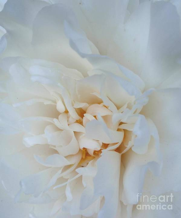 Flower Art Print featuring the photograph White Dream by Valia Bradshaw
