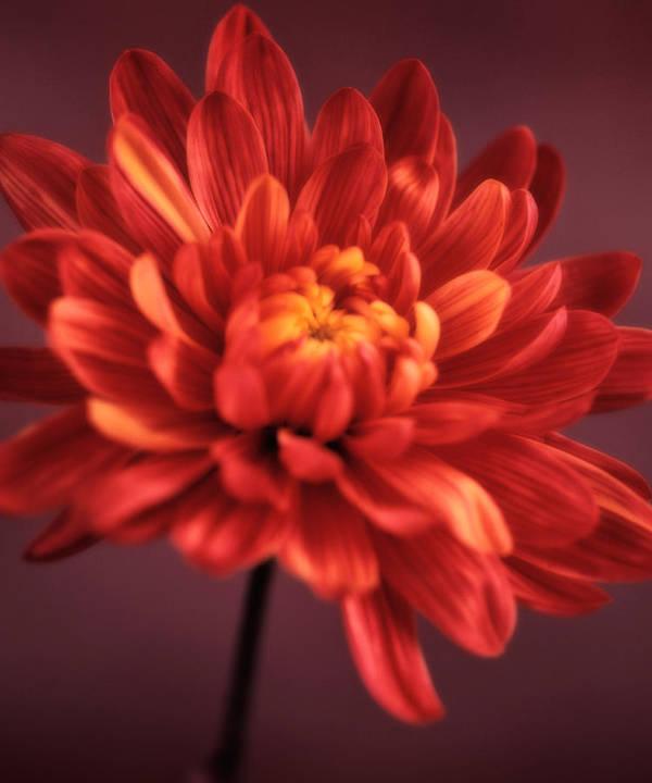 Chrysanthemum Art Print featuring the photograph Chrysanthemum 7 by Joseph Gerges