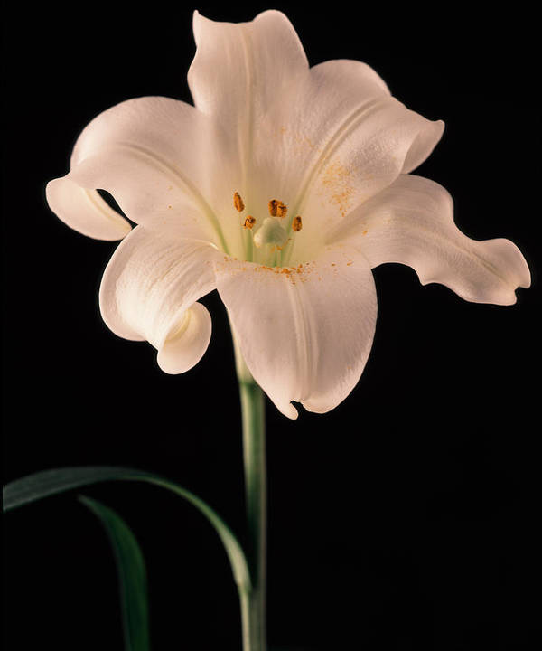 Flora Art Print featuring the photograph Easter Lily 3 by Joseph Gerges
