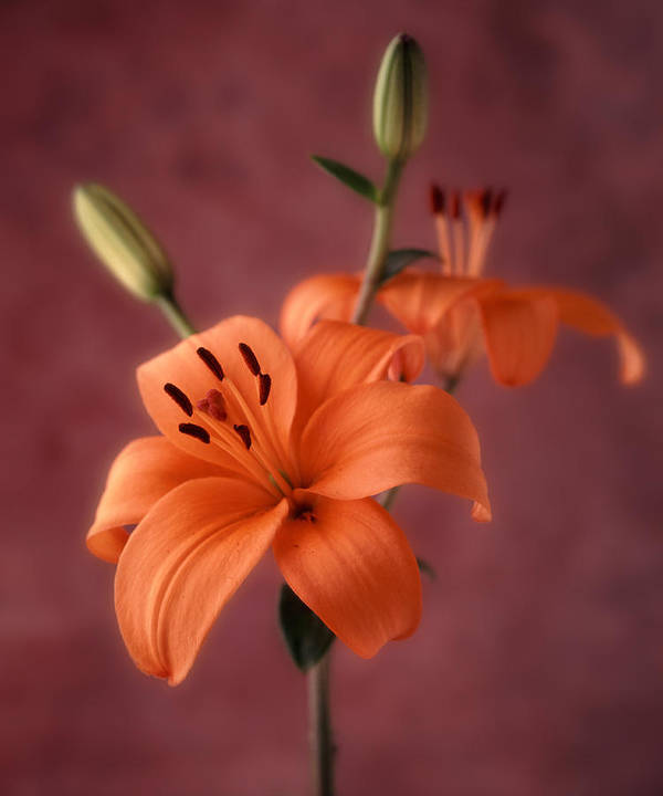 Flora Art Print featuring the photograph Lily 1 by Joseph Gerges