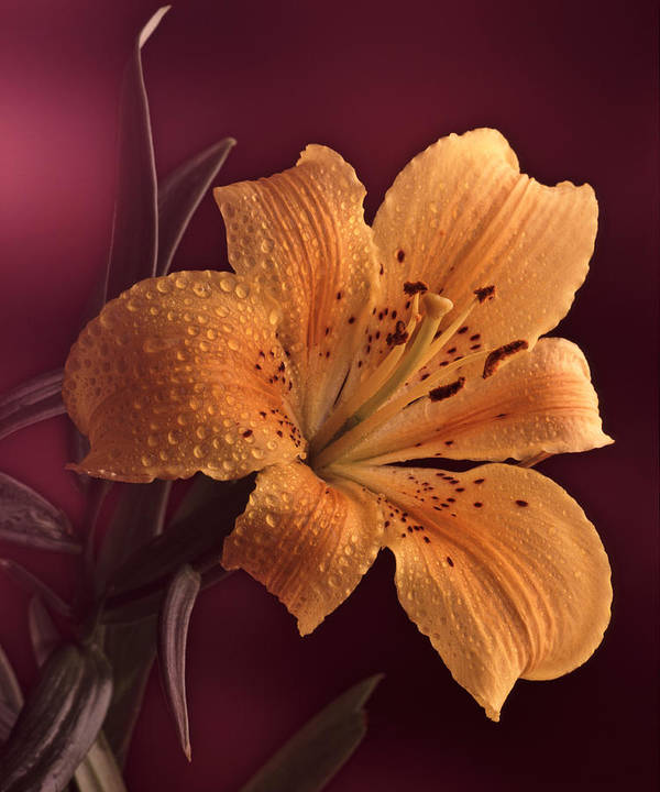 Still Life Art Print featuring the photograph Lily 14 by Joseph Gerges