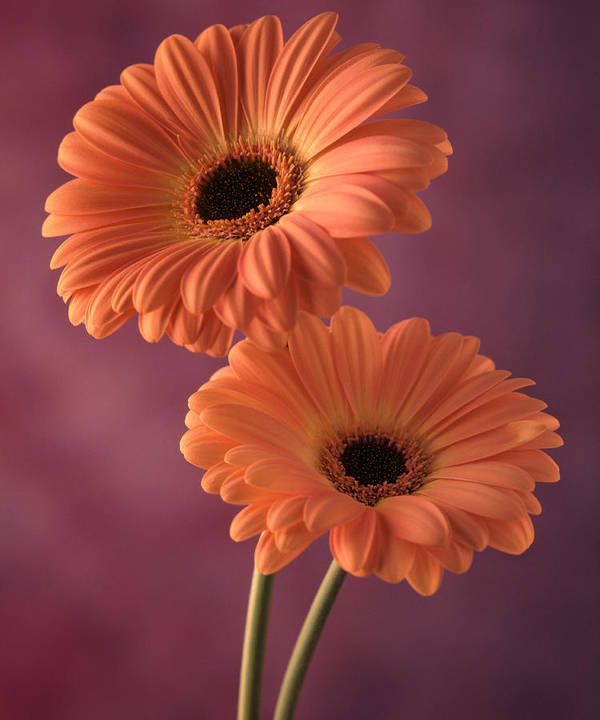 Flora Art Print featuring the photograph Two Gerberas 2 by Joseph Gerges