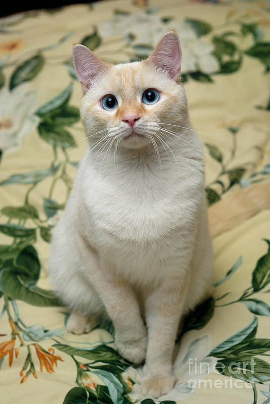 Blue Eyes Print featuring the photograph Flame Point Siamese Cat by Amy Cicconi