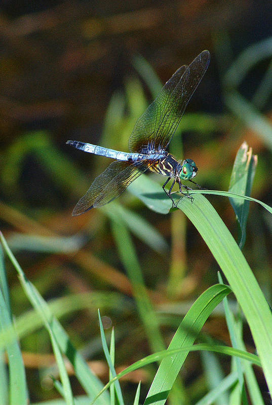Dragonfly Art Print featuring the photograph Green And Blue Dragonfly by Roy Williams