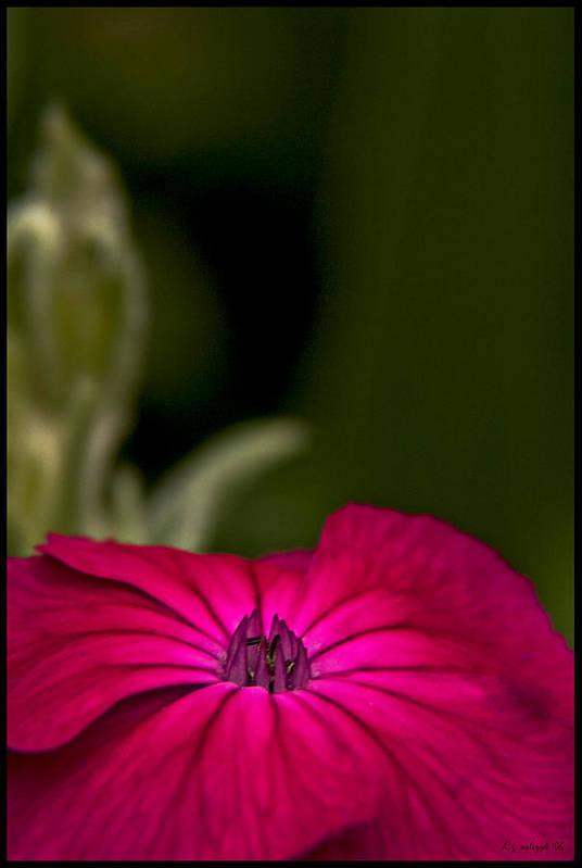 Flora Art Print featuring the photograph Fuchsia Delight by Daniel G Walczyk