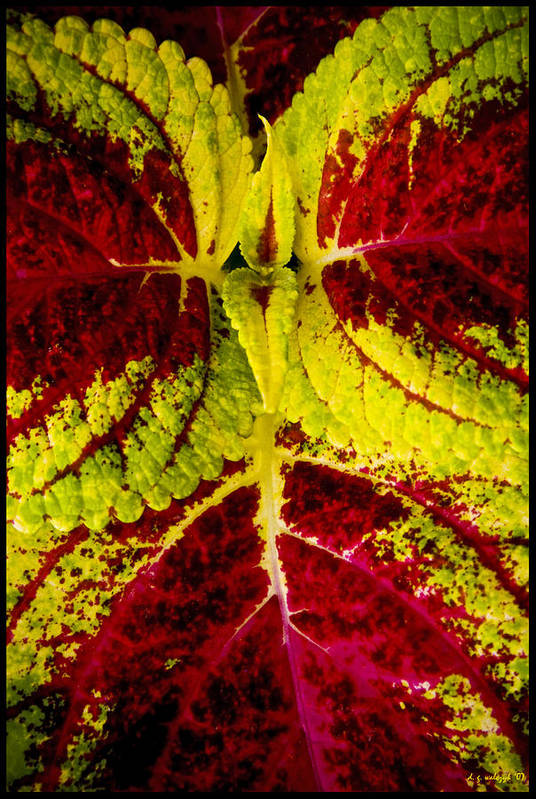 Flora Art Print featuring the photograph Leaf Study by Daniel G Walczyk