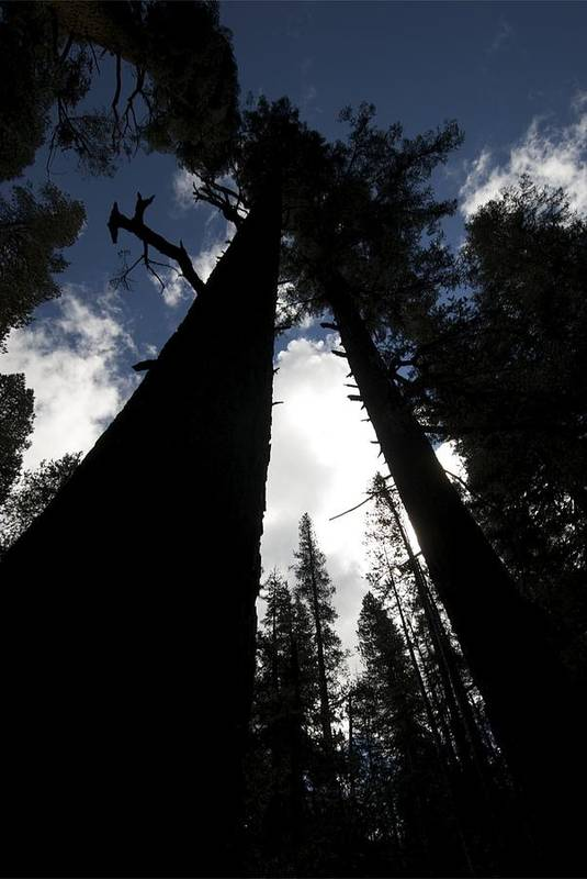 Pine Trees Art Print featuring the photograph Pines by Chris Brewington Photography LLC