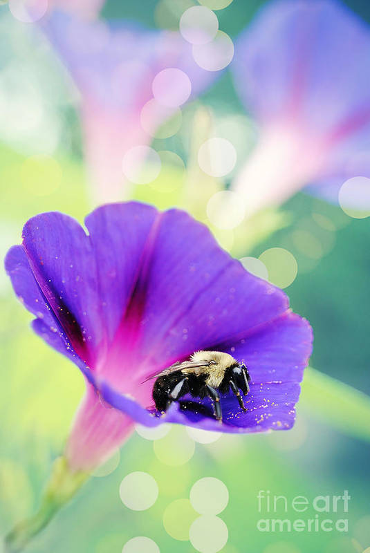 Morning Glory Art Print featuring the photograph Pollinating The Glories by Kelly Nowak