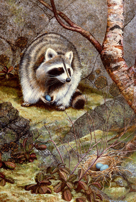 Raccoon Found Treasure Art Print featuring the painting Raccoon Found Treasure by Frank Wilson