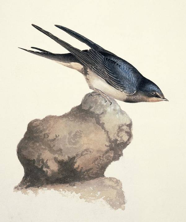 Barn Swallow Print featuring the photograph Barn Swallow, 19th Century by Science Photo Library