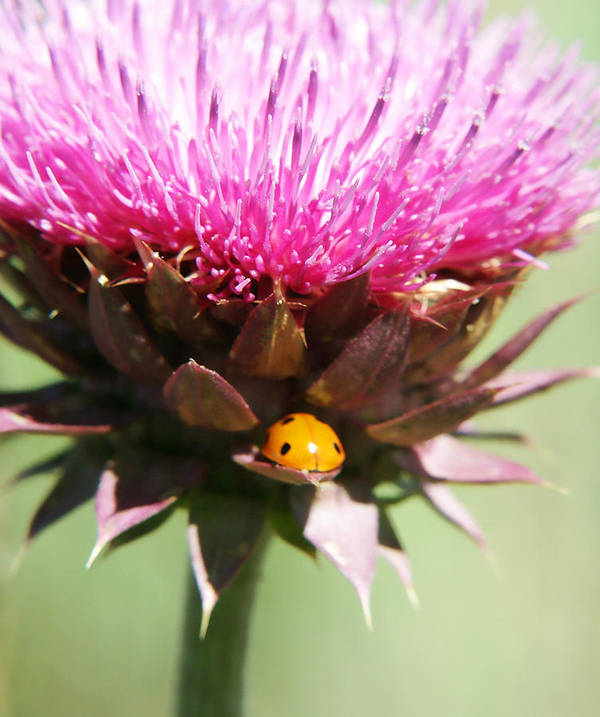 Ladybug Art Print featuring the photograph Ladybug And Thistle by Marilyn Hunt