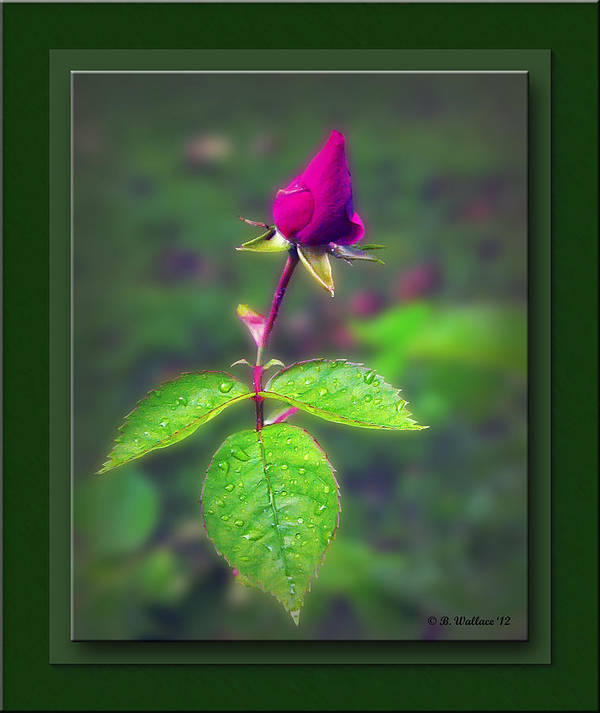 2d Art Print featuring the photograph Rose Bud by Brian Wallace