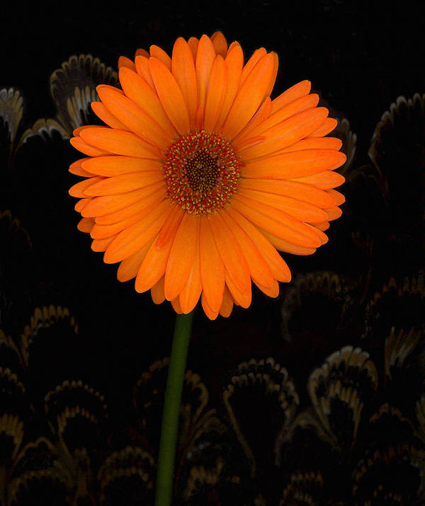 Gerbera Daisy Art Print featuring the photograph Standing Tall by Suzanne Gaff