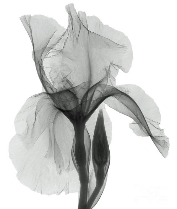 An X,ray Of An Iris Flower Art Print