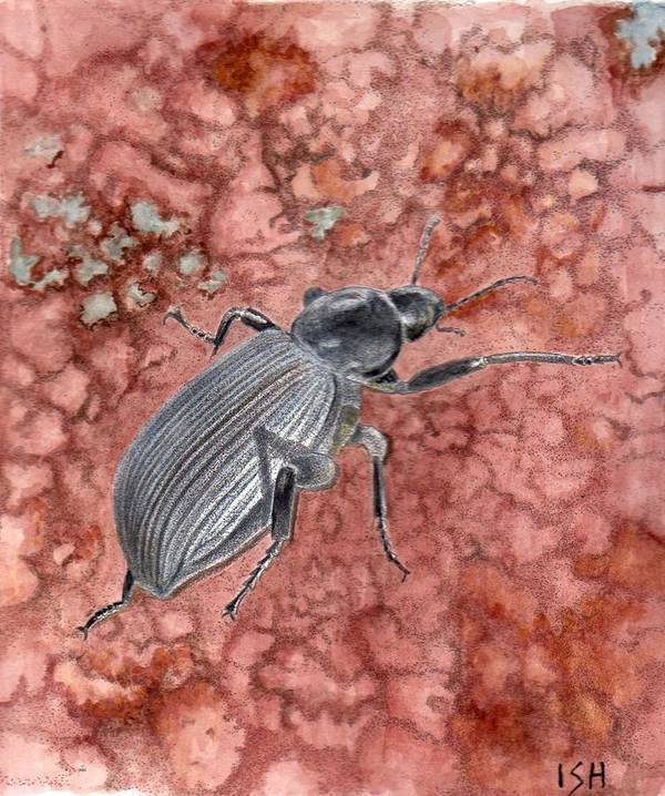 Insect Art Print featuring the painting Darkling Beetle by Inger Hutton