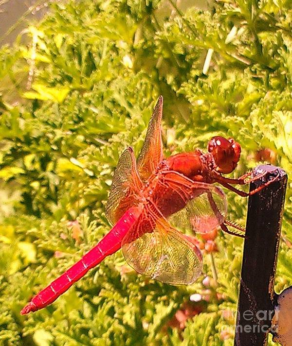 Dragon Fly Print Art Print featuring the photograph Friendly Dragon Fly by Julie Hiskett