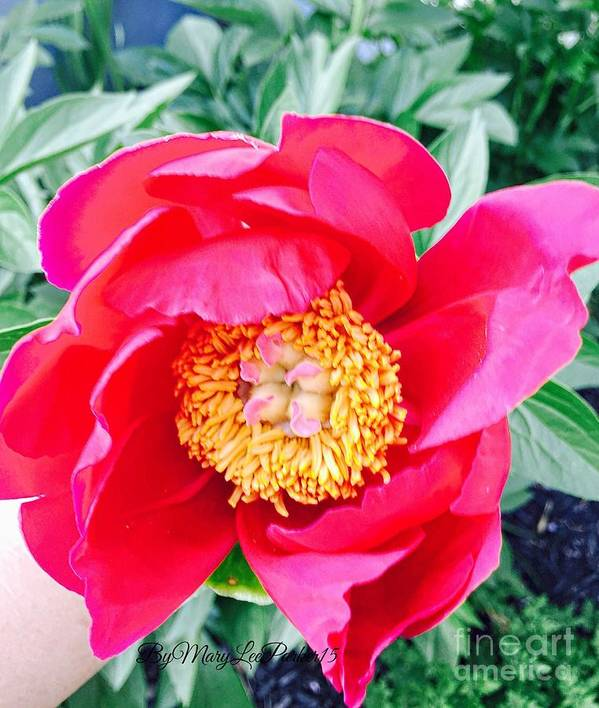 Scott's Flower 2  Peonies  Fuchsia Colors Yellow Green  Light Pink Garden Nature Leaves Photograph Picture Canvas Card Pillow Phone Case  Shower Curtain T Stirt Art Print featuring the photograph Scott' Flower2 by MaryLee Parker