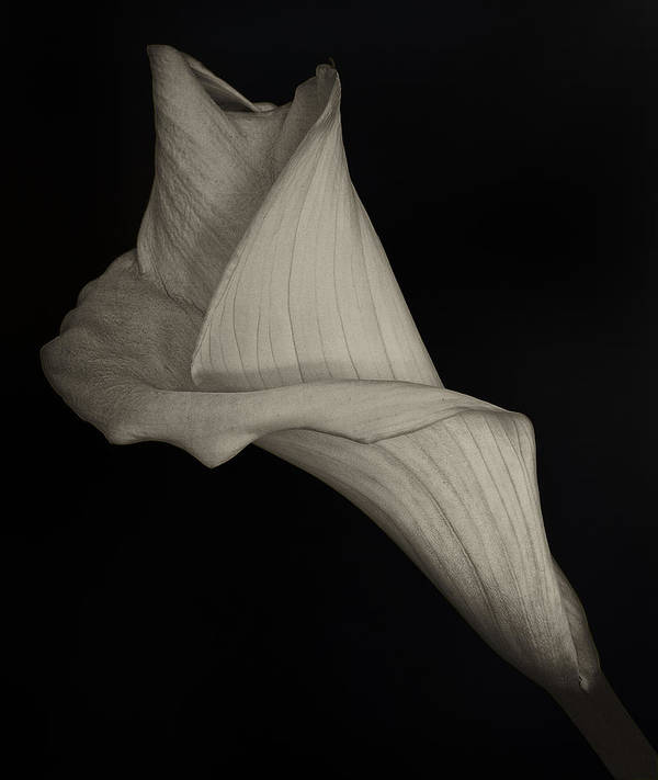 Calla Lily Art Print featuring the photograph Calla Lily by Robert Ullmann