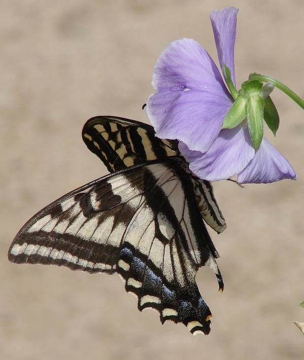 Butterfly Art Print featuring the photograph Swallowtail by Liz Vernand