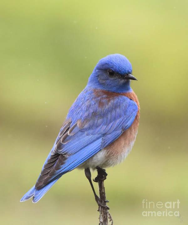 Bluebird Art Print featuring the photograph Bluebird Of Happiness by Cheryl Gidding