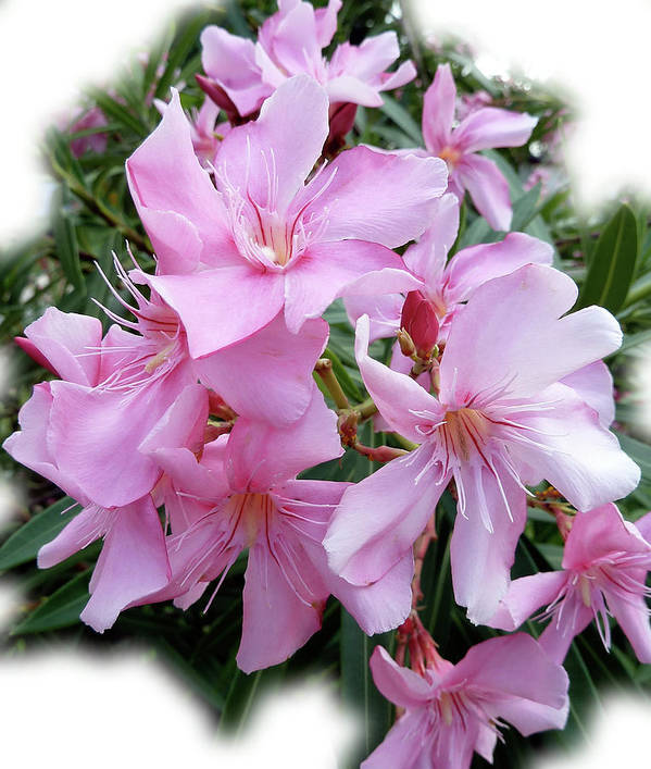 Pink Art Print featuring the photograph Caribbean Oleander by Marie Hicks