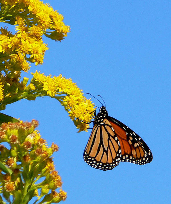 Monarch Art Print featuring the photograph Hangin' On by Tom LoPresti