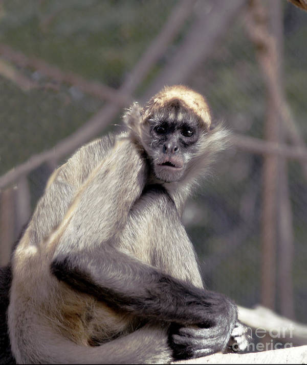 Monkey Art Print featuring the photograph What Are You Looking At by Irma BACKELANT GALLERIES