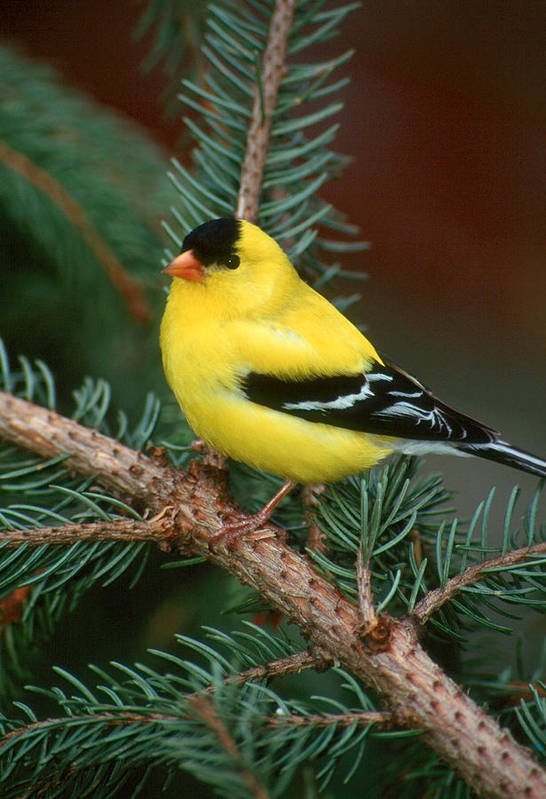 Bird Art Print featuring the photograph American Goldfinch by Raju Alagawadi