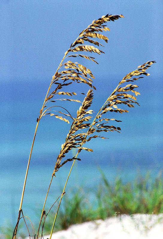 Sea Oats Print featuring the photograph Sea Oats Gulf Of Mexico by Thomas R Fletcher