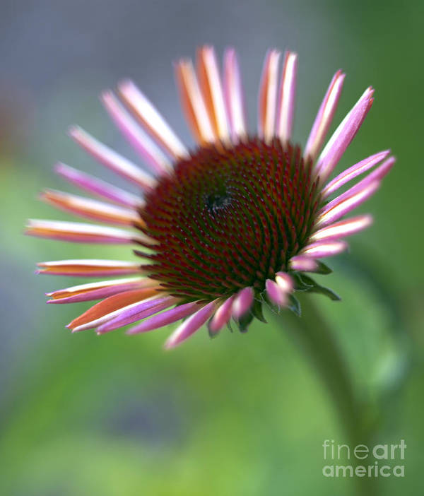 Genus Echinacea Art Print featuring the photograph Coneflower by Tony Cordoza