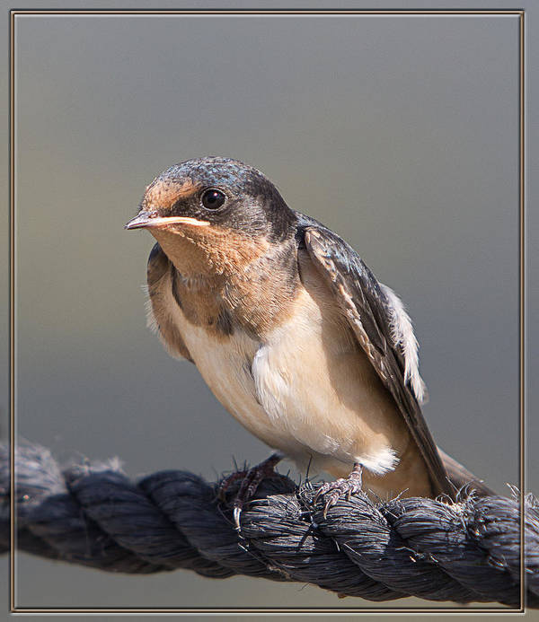 Barn Swallow Print featuring the photograph Barn Swallow On Rope I by Patti Deters